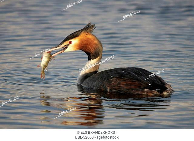 Great Crested Grebe with caught fish