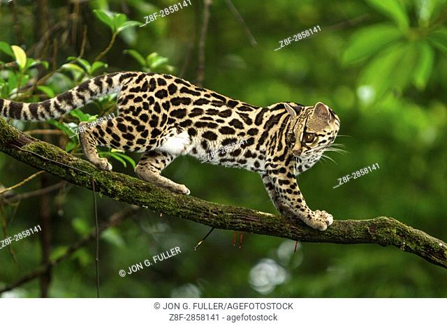 A wild Margay cat, Leopardus wiedii, in a tree near Arenal, Costa Rica. Margays are mostly nocturnal and live in the trees