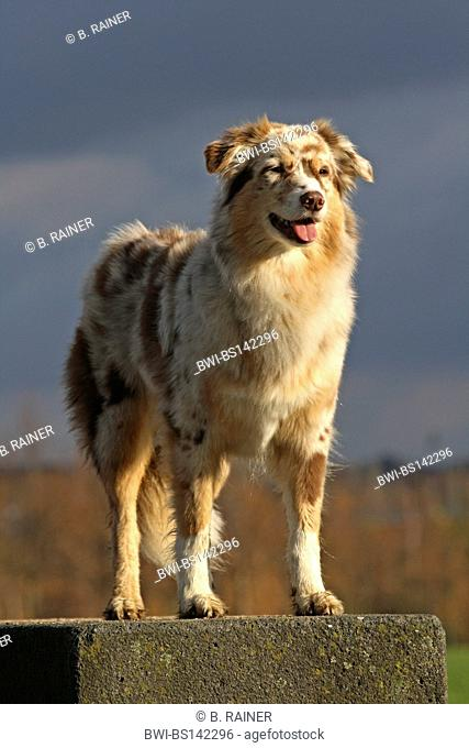 Australian Shepherd (Canis lupus f. familiaris), female standing on a stone, Germany