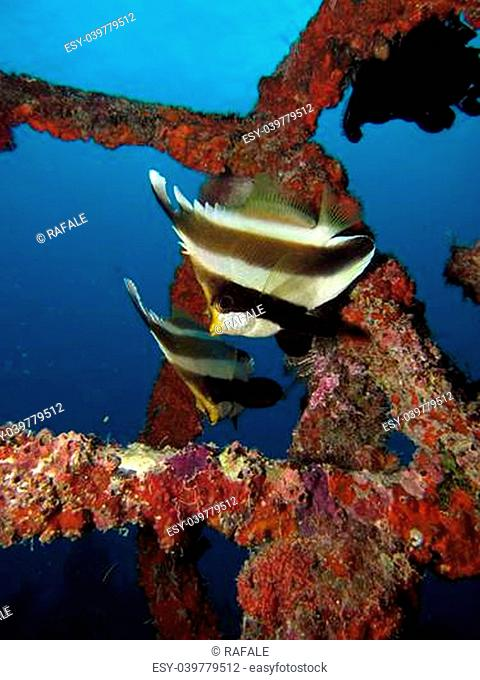 Two Pennant Bannerfish in an artificial reef system, off the coast of Mabul Island