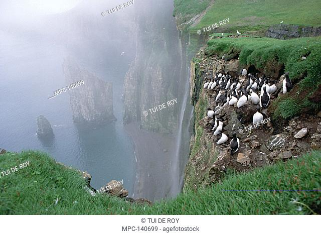 THICK-BILLED MURE, (Uria lomvia) AND KITTIWAKES (Rissa tridactyla) NESTING ON THE SOUTH COAST CLIFFS OF BEAR ISLAND, BARENTS SEA, NORWEGIAN ARCTIC