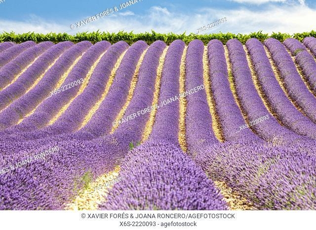 Lavander fields in the Drôme Provençale, Drôme, France