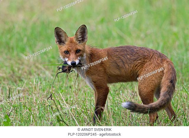 Red Fox Vulpes vulpes juvenile with caught mouse in mouth, Sweden