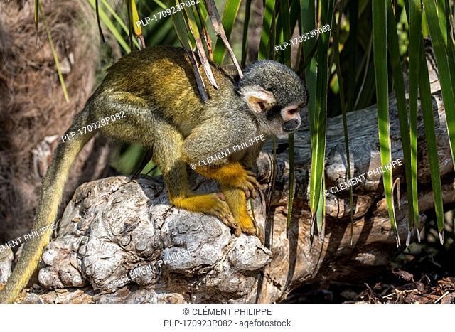 Black-capped squirrel monkey / Peruvian squirrel monkey (Saimiri boliviensis peruviensis), native to South America