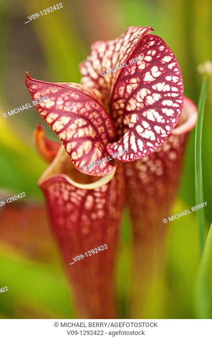 North American pitcher plant (Sarracenia sp.)