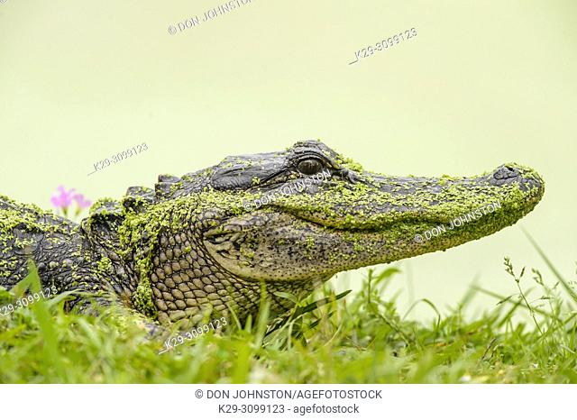 Loafing alligator (Alligator mississipiensis), Jungle Gardens, Avery Island, Louisiana, USA