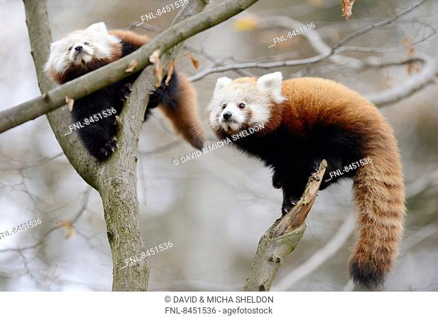 Two red panda (Ailurus fulgens) youngsters on a bough
