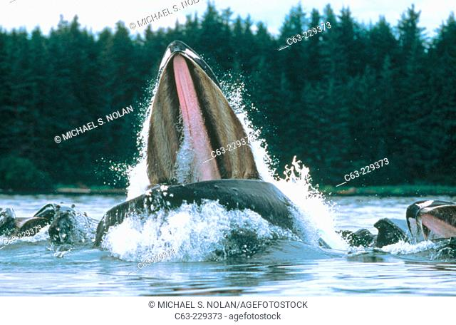 Humpback Whale (Megaptera novaeangliae) feeding. Alaska. USA