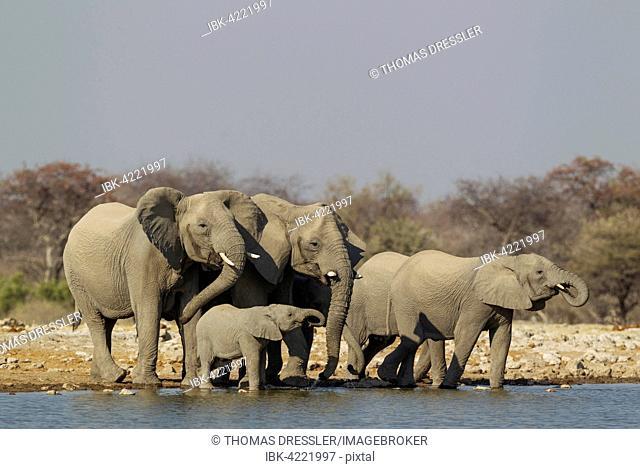 African elephant (Loxodonta africana), breeding herd at waterhole, Etosha National Park, Namibia