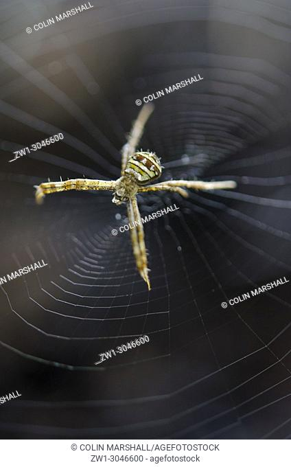 St. Andrew's Cross Spider (Araneae Order, Araneidae family, Argiope versicolor) on web, Klungkung, Bali, Indonesia, Klungkung, Bali, Indonesia