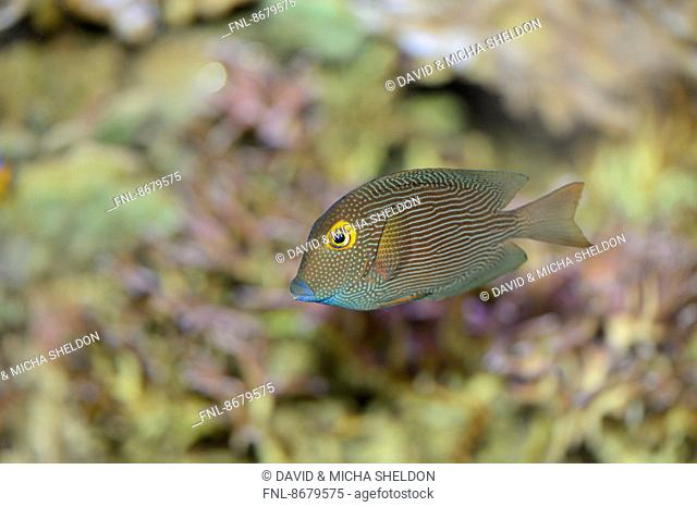 Close-up of a Goldring surgeonfish (Ctenochaetus strigosus)