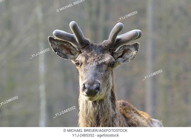 Red deer, Hesse, Germany, Europe