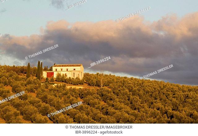 Cultivated Olive trees (Olea europaea) and farmhouse, Málaga province, Andalusia, Spain