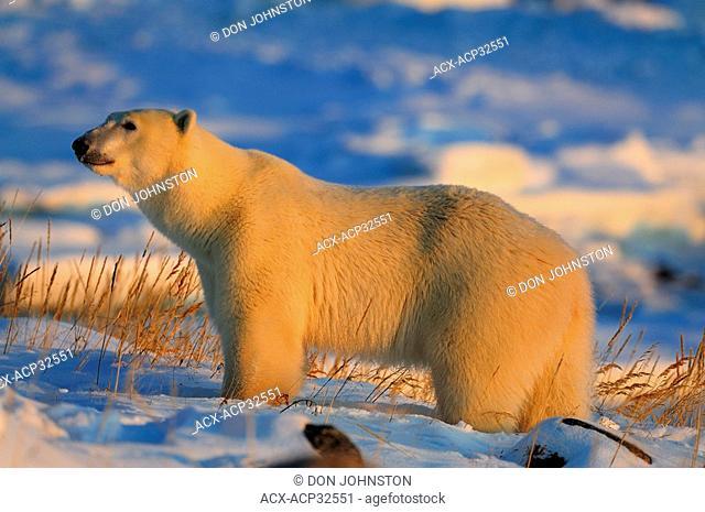 Polar bear Ursus maritimus. Seal River Heritage Lodge, Churchill, Manitoba, Canada