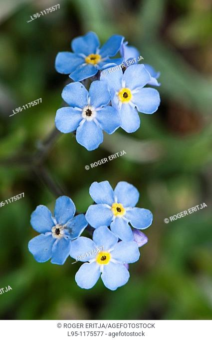 Closeup of Myosotis flowers, called Forget-me-not in many European languages  High pastures in the Pyrenees, Spain