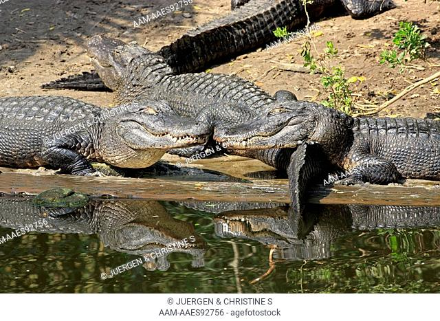 American Alligator (Alligator mississipiensis) adult on shore sunbathing, Florida, USA