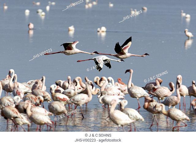 Lesser Flamingo Phoenicopterus minor Lake Nakuru Kenya