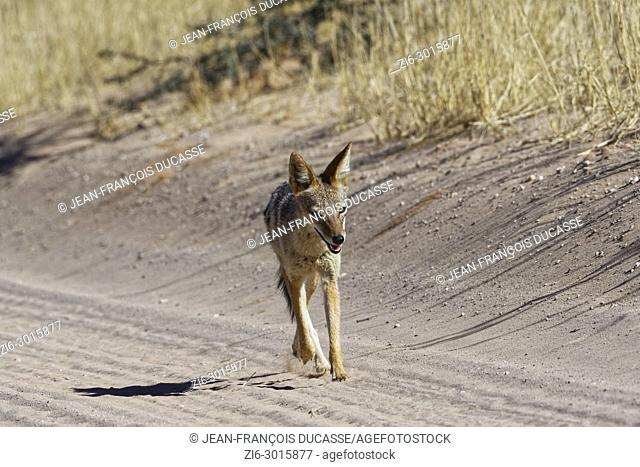 Black-backed jackal (Canis mesomelas), running on a sandy road, Kgalagadi Transfrontier Park, Northern Cape, South Africa, Africa