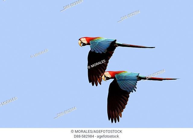 Red and green Macaw at the clay lick (Ara chloroptera)
