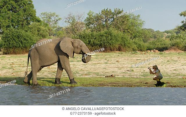 Woman photographing an elephant, Chobe National Park, Botswana