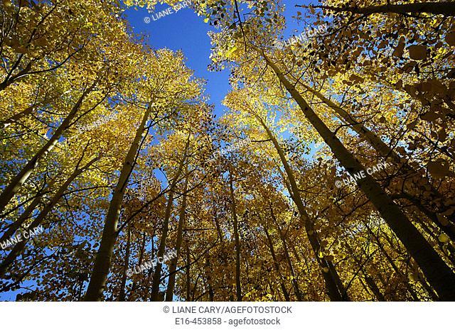 Aspen grove, California. USA