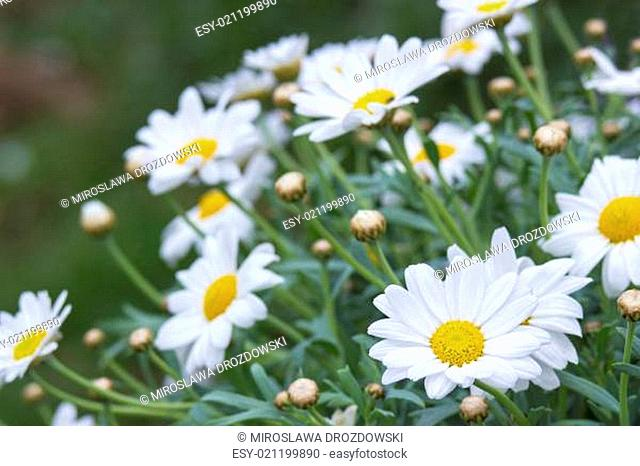 daisies in the nature