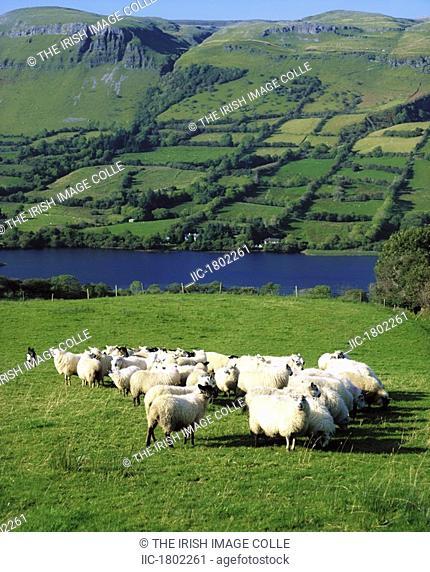 Sheep, Benbulben, Co Sligo, Ireland