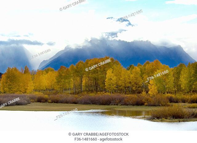 Aspen trees in fall below Mount Moran, at Oxbow Bend, Snake River, Grand Teton National Park, Wyoming