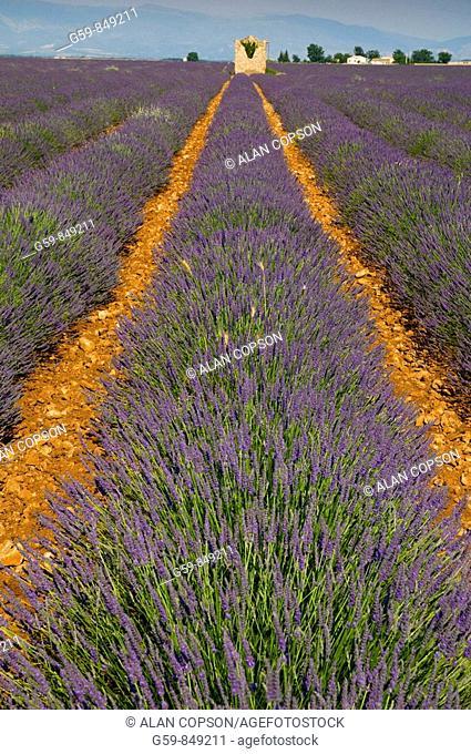France Provence-Alpes-Côte d'Azur, Alpes-de-Haute-Provence Valensole Lavendar Fields