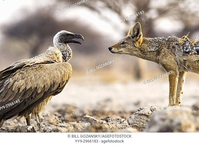 Black-backed Jackal (Canis mesomelas) and White-backed Vulture (Gyps africanus) - Onkolo Hide, Onguma Game Reserve, Namibia, Africa