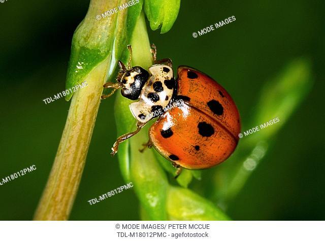 A seven spot ladybird