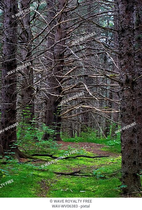 The lush forests around Dyea, close to Skagway, Alaska. Through the thick cover of the large trees is the famous slide cemetery
