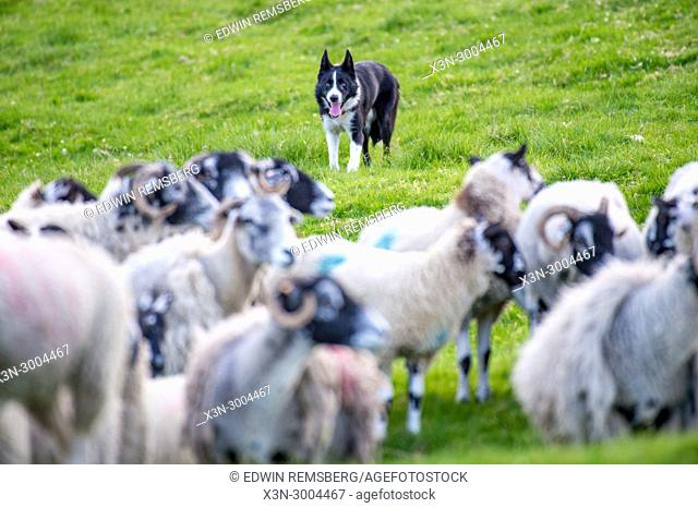 Border Collie chases after flock of sheep in order to herd them, Yorkshire Dales, UK