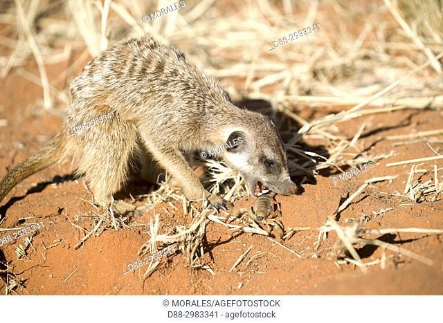 Africa, Southern Africa, South African Republic, Kalahari Desert, Meerkat or suricate (Suricata suricatta), adult eating a scorpion