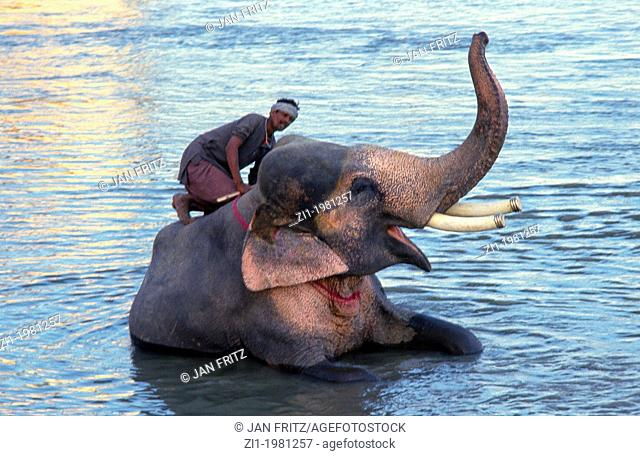 mahut washing his elephant in the Mahanadi river at Sonpur in India