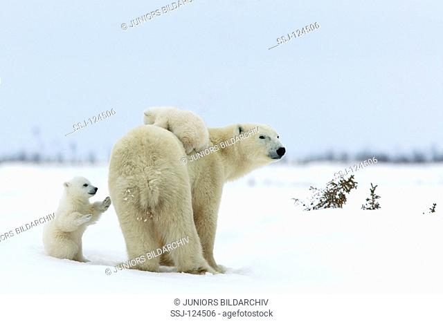 polar bear with two cubs / Ursus maritimus