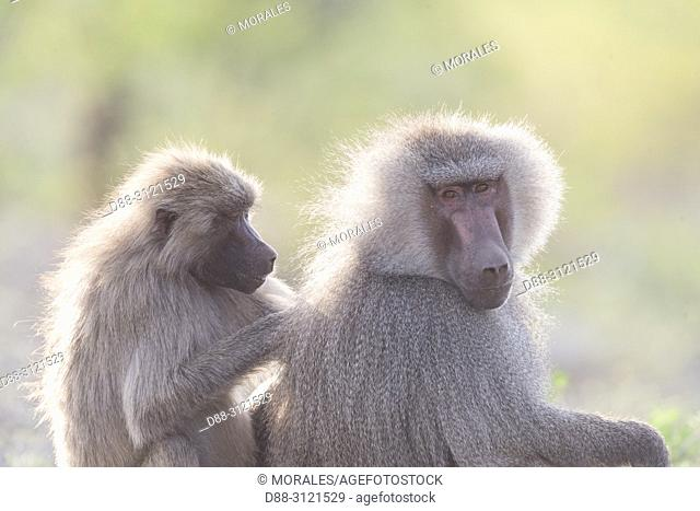 Africa, Ethiopia, Rift Valley, Awash, Hamadryas baboon (Papio hamadryas), Dominant male with a female, grooming