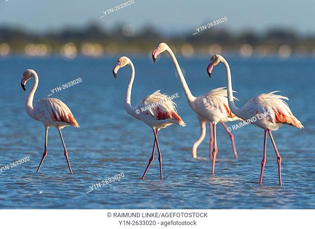 European Flamingo, Great Flamingo, Phoenicopterus roseus, Saintes-Maries-de-la-Mer, Parc naturel regional de Camargue, Languedoc Roussillon, France