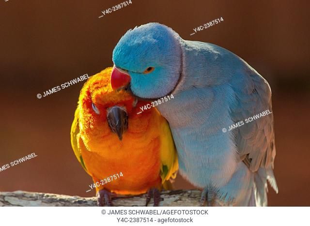 Pair of small parrot Lovebirds Agapornis grooming each other