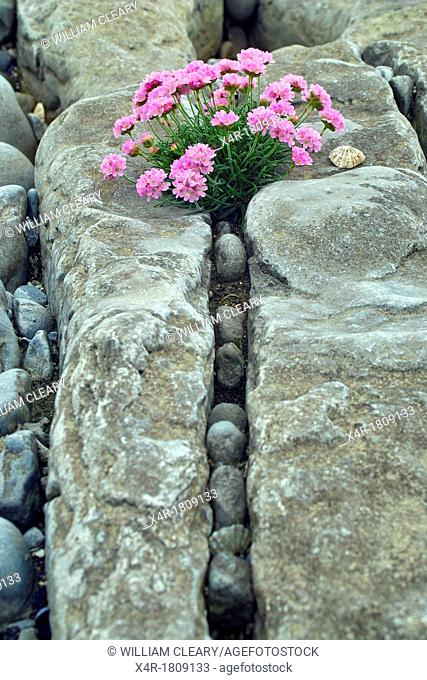 Thrift growing among the rocks on Inis Oirr, Arran Islands, County Galway, Ireland