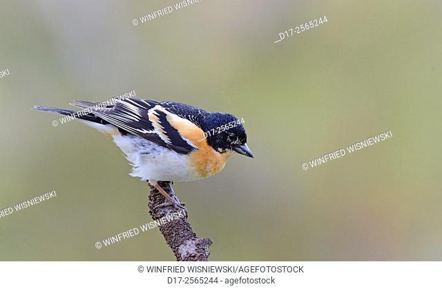 Male brambling (Fringilla montifringilla). Norway