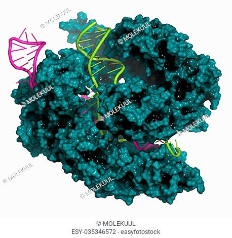 CRISPR-CAS9 gene editing complex from Streptococcus pyogenes. The Cas9 nuclease protein uses a guide RNA sequence to cut DNA at a complementary site