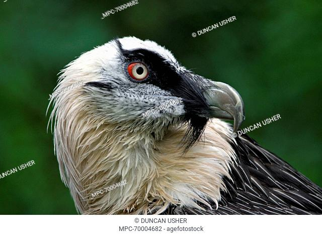 Bearded Vulture Gypaetus Barbatus Close Up Of Eye Stock Photo