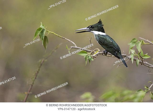 Amazon kingfisher (Chloroceryle amazona), adult female perched on twig, Pantanal, Mato Grosso, Brazil