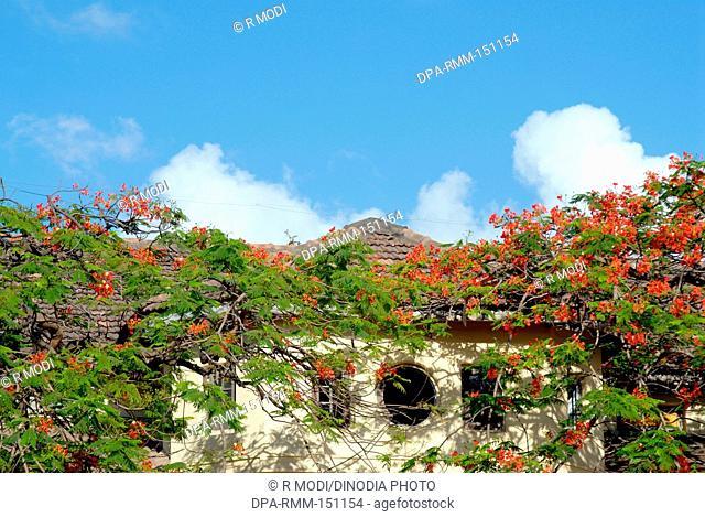 Architect ; typical old house cover with the Gulmarg red flower ; Bombay Mumbai ; Maharashtra ; India