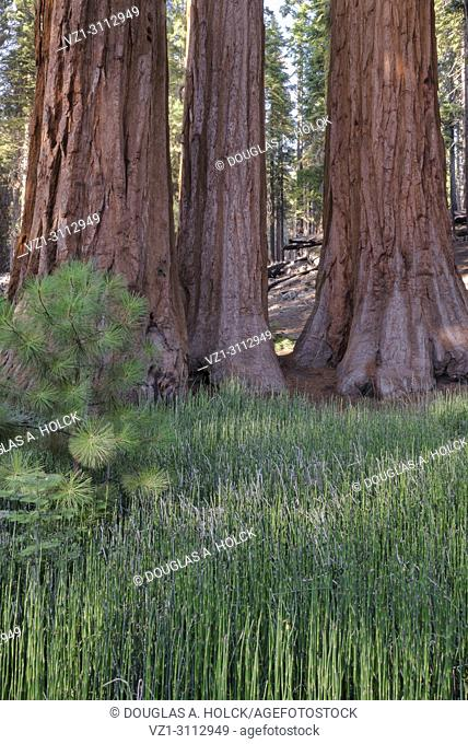 Three large Sequoia (Sequoia giganteum) redwoods, part of Mariposa Grove of Yosemite National Park, USA