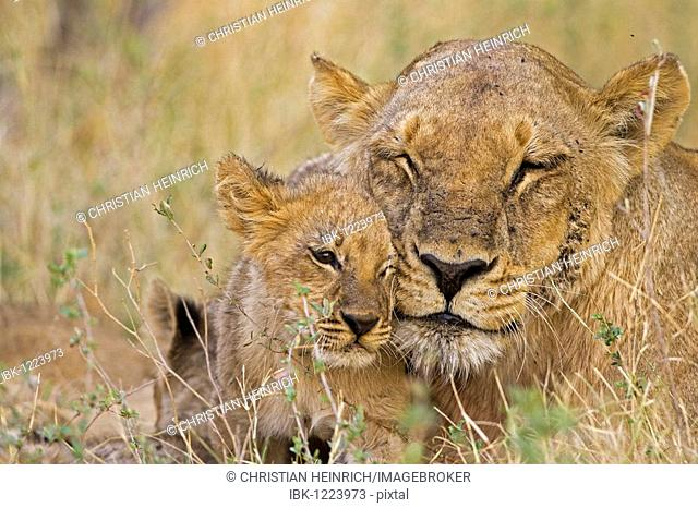 Mother with cubs, Lions (Panthera leo), Moremi National Park, Okavango Delta, Botswana, Africa