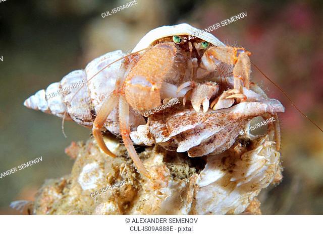 Pagurus pubescens hermit crab