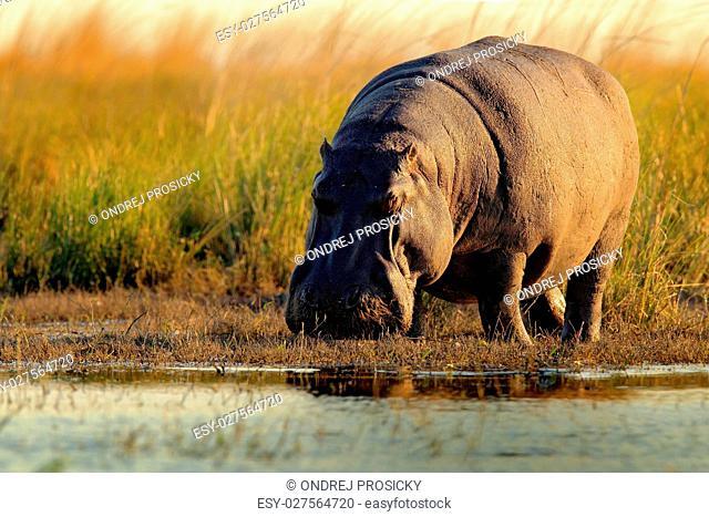 African Hippopotamus, Hippopotamus amphibius capensis