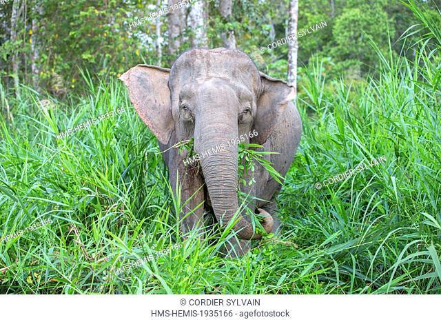 Malaysia, Sabah state, Kinabatangan river, Borneo elephant or Borneo pygmy elephant (Elephas maximus borneensis), subspieces of Asian elephant